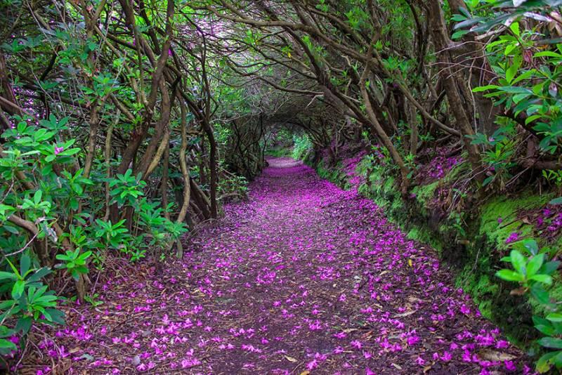 tunnel-di-rododendri-nel-parco-di-reenagross-kenmare-irlanda-602432